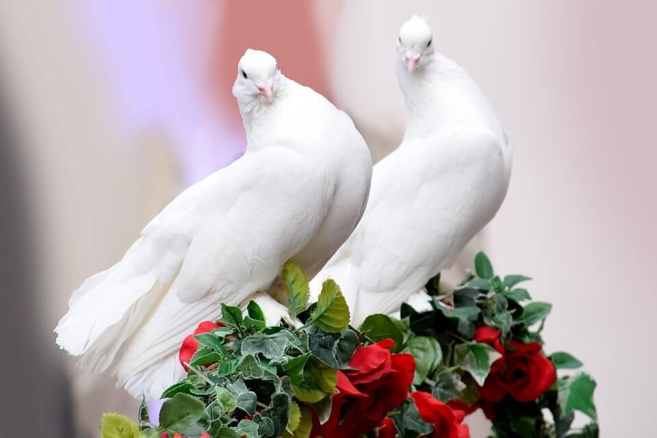 Cara Merawat Burung Merpati Yang Baik dan Benar