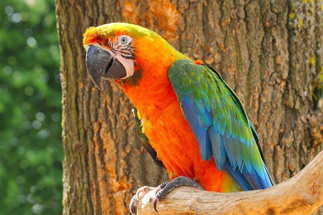Catalina Macaw (Rainbow Macaw): Bird Species Profile