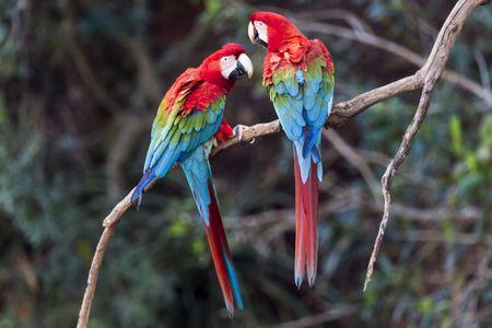 Harlequin Macaw: Bird Species Profile